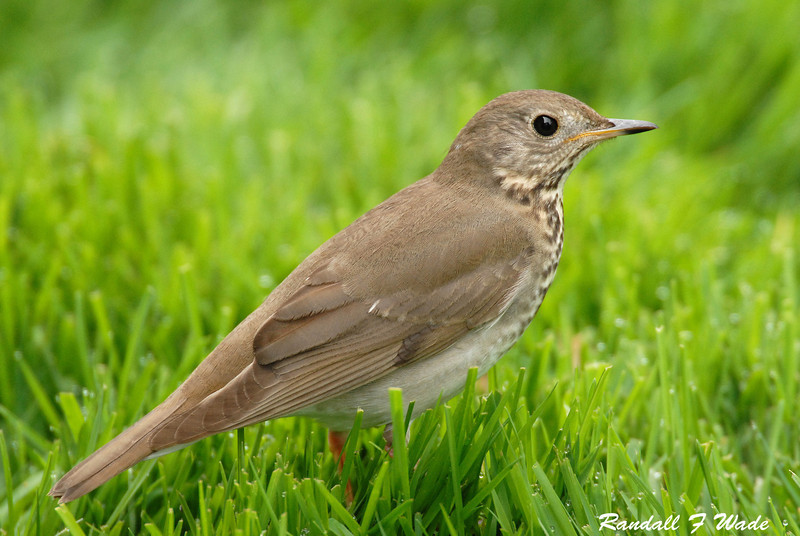 Gray Cheeked Thrush