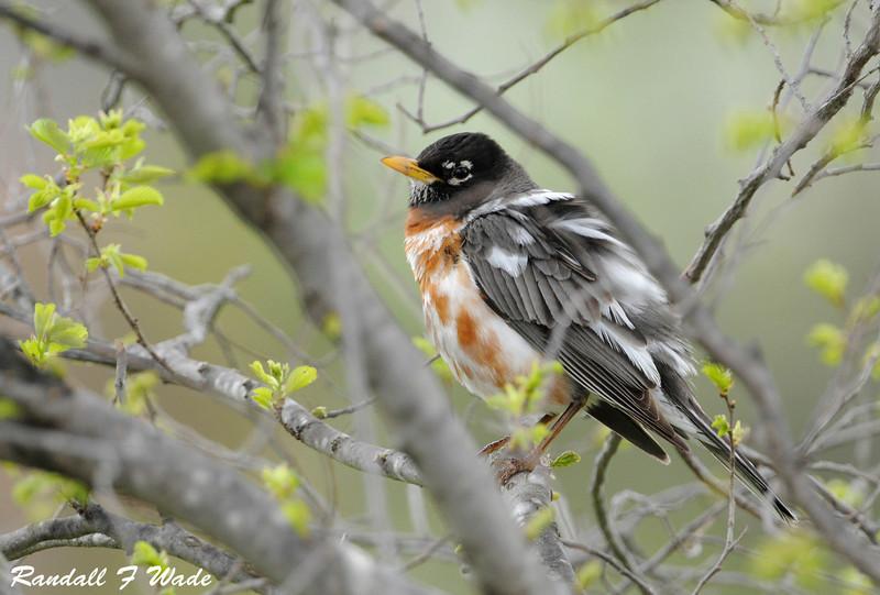 Leucistic American Robin