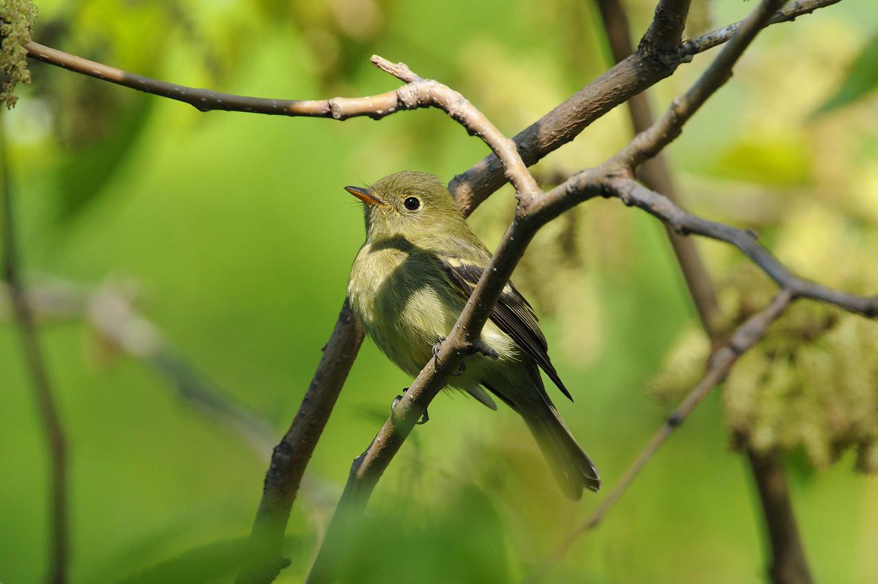 Yellow Bellied Flycatcher