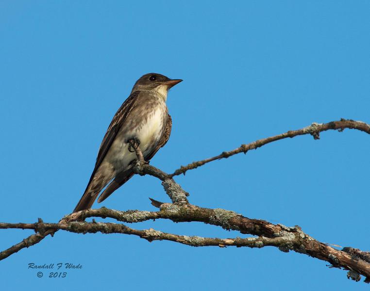 Olive Sided Flycatcher