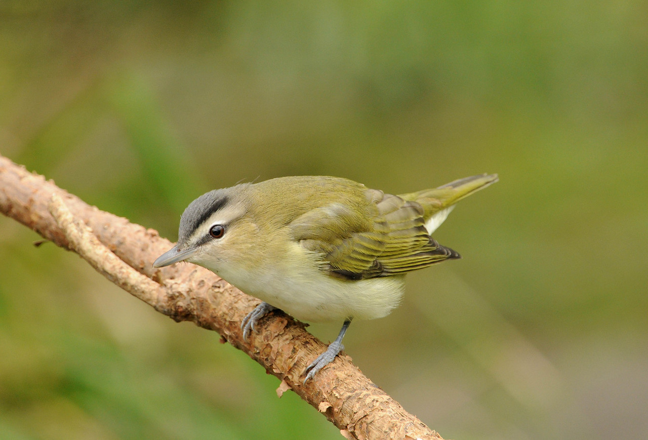 Immature Red Eyed Vireo
