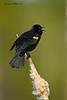 Red=Winged Blackbird