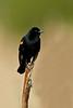 Red-Winged  Blackbird on bulrush .