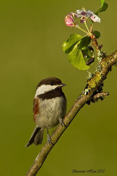Chickadee chestnut-backed ,