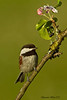 Chickadee chestnut-backed ,