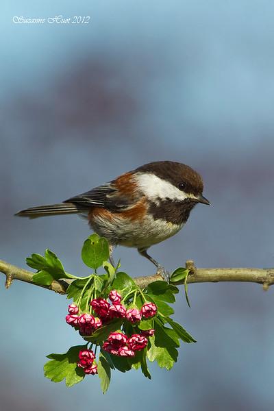 Chestnut-backed Chickadee on Hawthorn .