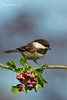 Chestnut-backed Chickadee on Hawthorn .