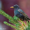 European Starling  .