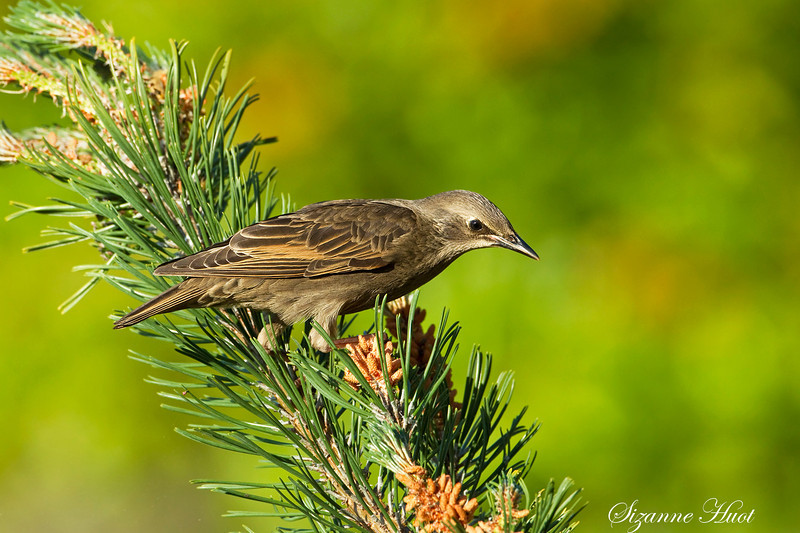 Juvenile European Starling .