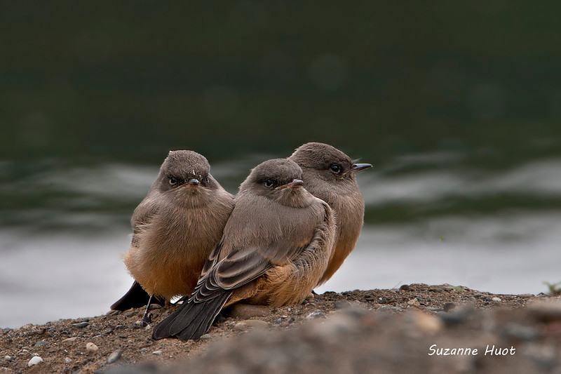 Say's Phoebe just out of the nest.