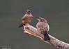 Say's Pheobe parent bird feeding chick.