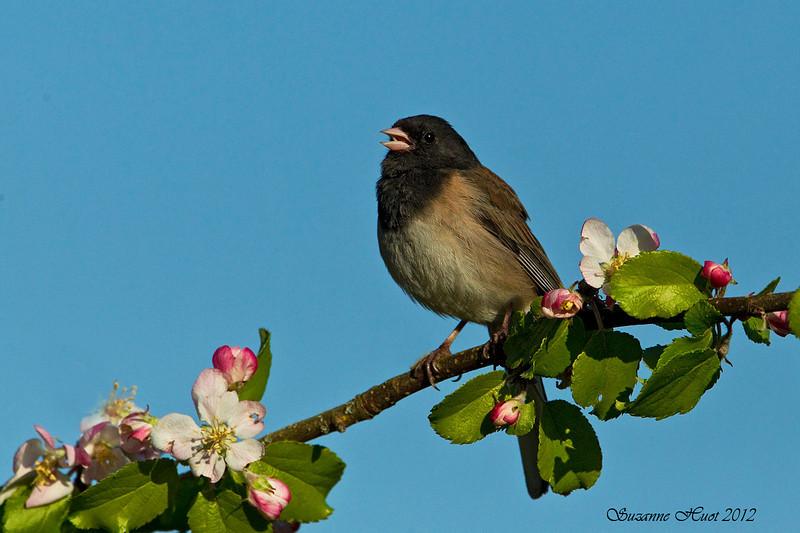 Junco Dark-eyed .,male on Apple Blossom.