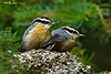 Nest siblings ,two of a brood of three fledgeling White-Breasted Nuthatches who were being fed by one of the parent birds .on a branch in a  fir tree ..