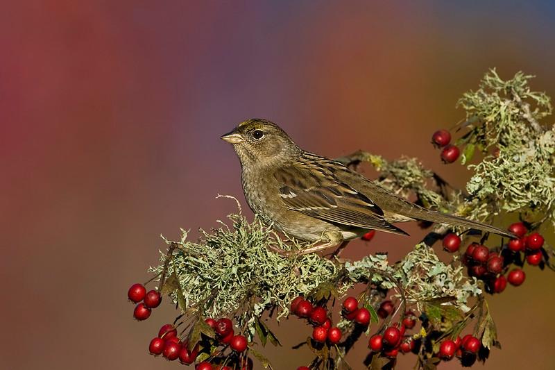 Golden-Crowned Sparrow in Winter plumage.