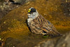 Golden-crowned sparrow Bathing .