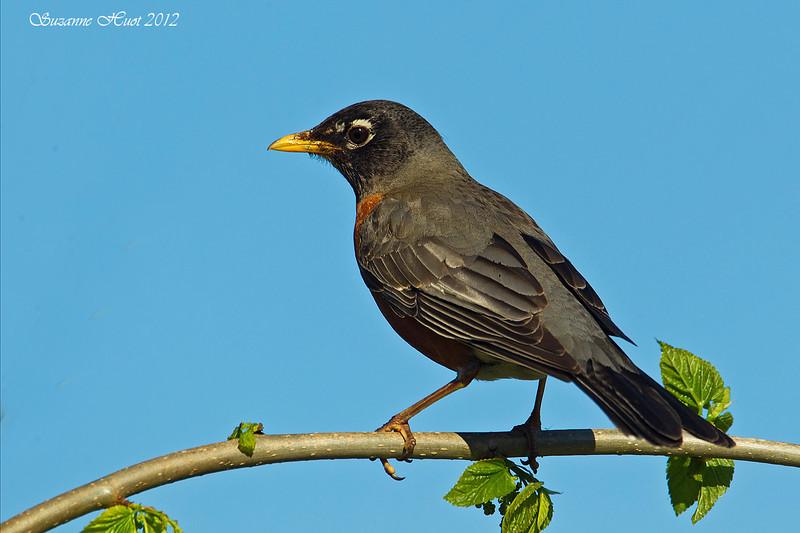 North American Robin .