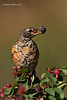 Juvenile Robin.