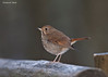 Hermit Thrush on a frosty fence.
