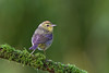 Orange- crowned warbler.