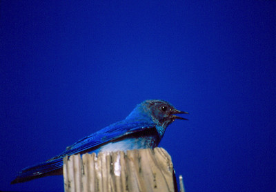 Male Mountain bluebird sitting on a post.  Photo by Scott Root, Utah Division of Wildlife Resources.
