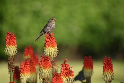 Female house finch perched on a flower.  Photo by Scott, Utah Division of Wildlife Resources.