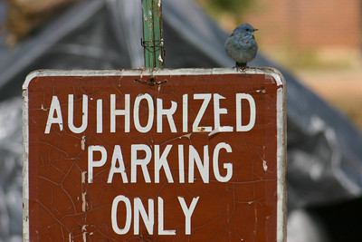 "Mountain bluebird sitting on ""Authorized Parking Only"" sign.  Photo by Scott Root, Utah Division of Wildlife Resources"