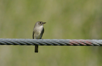 Flycatcher sitting on a large cable.  Photo by Scott Root, Utah Division of Wildlife Resources