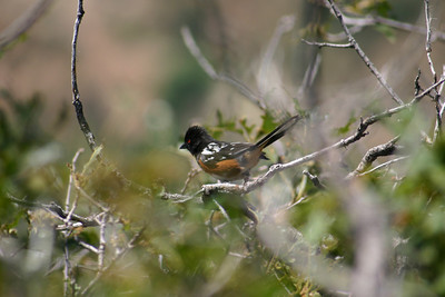 Spotted towhee perched on a branch.  Photo by Scott Root, Utah Division of Wildlife Resources