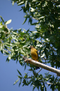 Perching evening grosbeak.  Photo by Scott Root, Utah Division of Wildlife Resources.