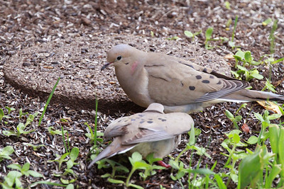 Mourning doves in central Utah. Photo by Scott Root, May 2013.