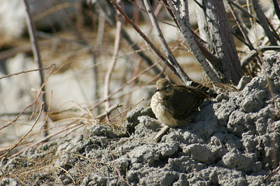 American pipit sitting on the ground in some brush.  Photo by Scott Root, Utah Division of Wildlife Resources
