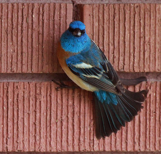A male Lazuli bunting in central Utah. Photo by Scott Root, May 2013. The Lazuli Bunting is a North American songbird named for the gemstone lapis lazuli.