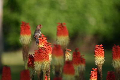 Male house finch perched on a flower.  Photo by Scott Root, Utah Division of Wildlife Resources.