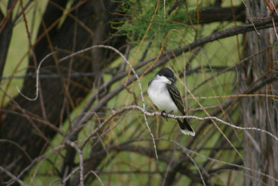 Perching eastern kingbird.  Photo by Scott Root, Utah Division of Wildlife Resources