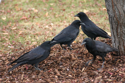 American crows in Provo Utah.  Photo by Scott Root, Utah Division of Wildlife Resources