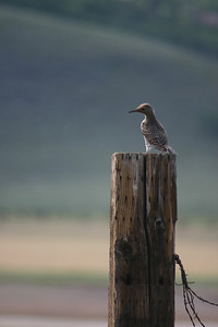 Northern flicker perched on a fence post.  Photo by Scott Root, Utah Division of Wildlife Resources