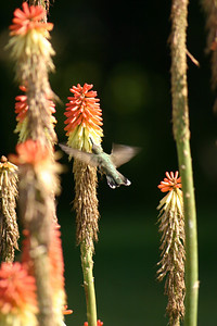 Broad-tailed hummingbird in flight feeding from a flower.  Photo by Scott Root, Utah Division of Wildlife Resources