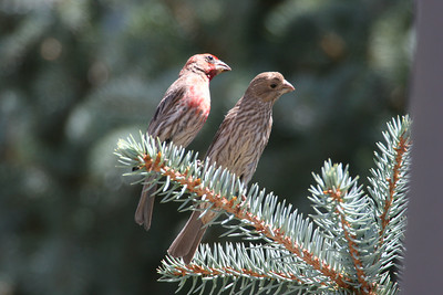 House finch pair.  Photo by Phil Douglass
