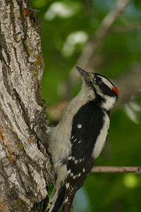 Downy woodpecker on tree trunk.  Photo by Scott Root, Utah Division of Wildlife Resources
