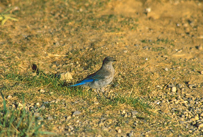Mountain bluebird female walking on the grass.  Photo by Scott Root, Utah Division of Wildlife Resources.