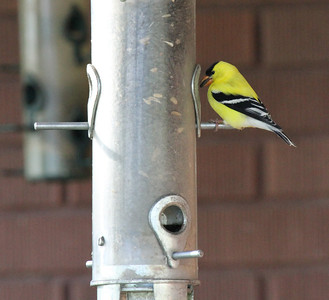 An American goldfinch in central Utah. Photo by Scott Root in May, 2013.