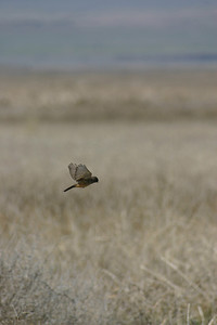Say's phoebe in flight.  Photo by Scott Root, Utah Division of Wildlife Resources.