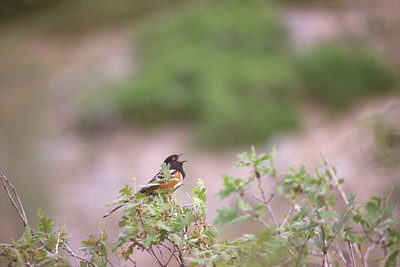 Spotted towhee singing in brush habitat.  Photo by Utah Division of Wildlife Resources