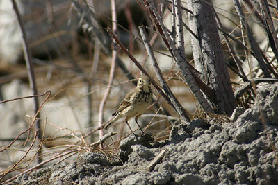 American pipit on the ground in some brush.  Photo by Scott Root, Utah Division of Wildlife Resources