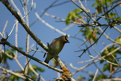 Cedar waxwing perched in a tree.  Photo by Scott Root, Utah Division of Wildlife Resources