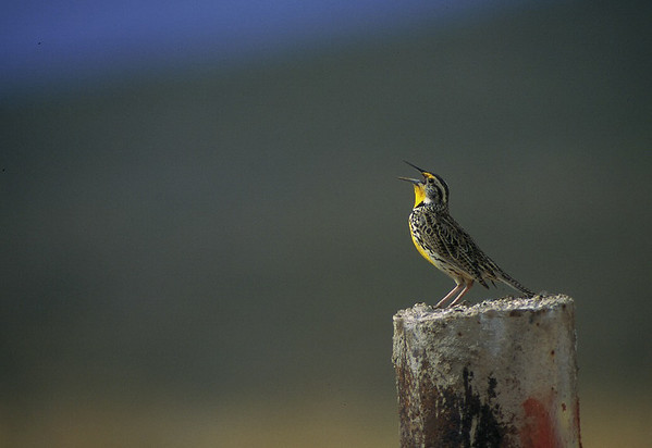 Meadow lark on post singing.  Photo by Utah Division of Wildlife Resources.