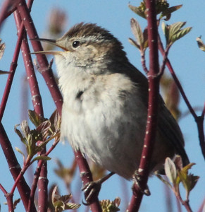 Marsh wren at Cutler Marsh.  Photo by Phil Douglass, Utah Division of Wildlife Resources