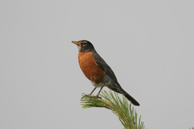 American Robin adult.  Photo by Phil Douglass