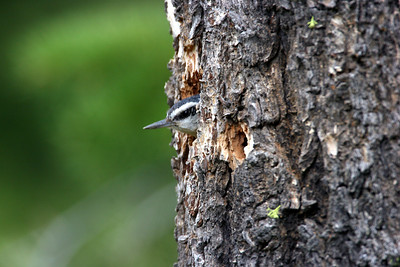 Red-breasted nuthatch mining out a nest site.  Photo by Phil Douglass