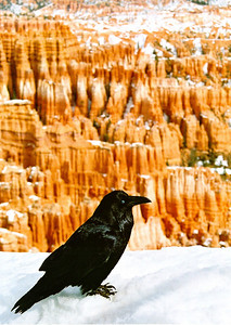 Raven perched on the snow with Bryce Canyon in the background.  Photo by Scott Root, Utah Division of Wildlife Resources